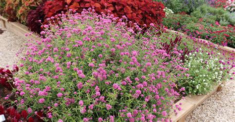 Gomphrena | Ornamental Horticulture Research Group | Plant