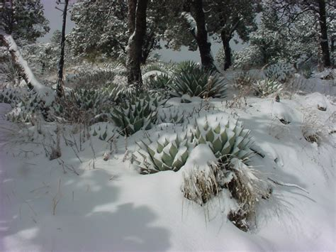Vascular Plants of the Gila Wilderness-- Agave parryi var