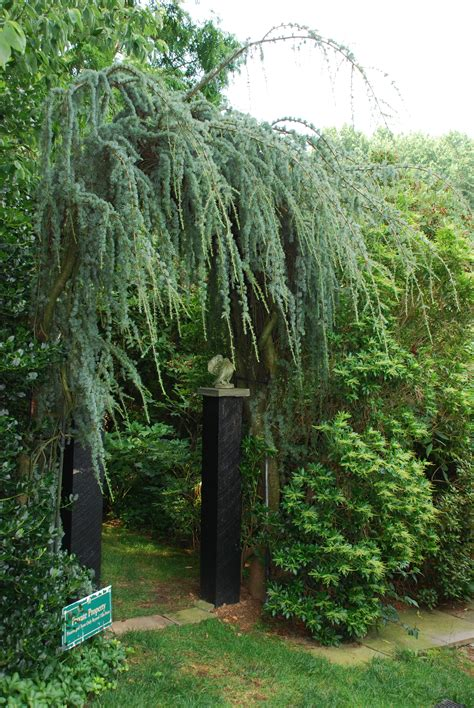 Very Tall Stake For A Weeping Blue Atlas Cedar | What