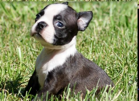 Boston Mania: Desireable Colors of a Boston Terrier