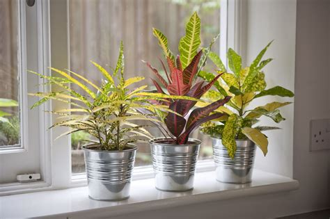 Croton Plant: Care and Growing Guide